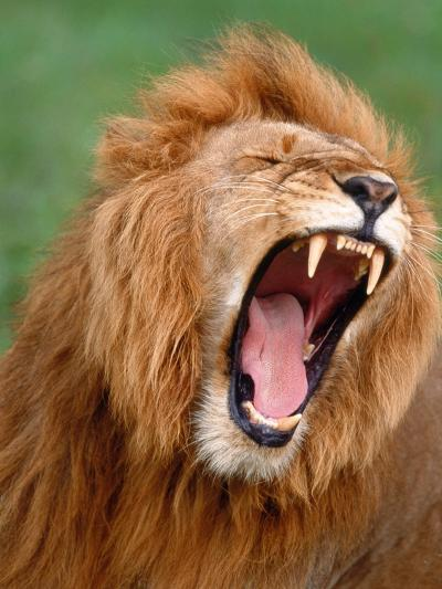 Male lion tearing his mouth open-Winfried Wisniewski-Photographic Print