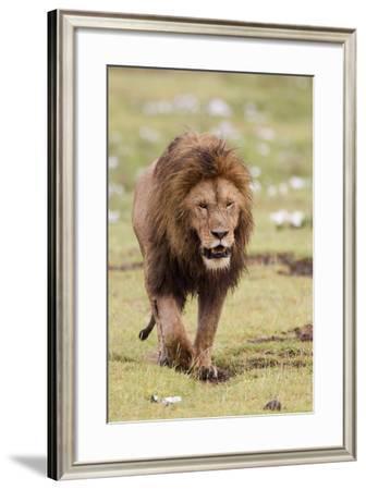 Male Lion Walks Directly to Camera, Ngorongoro, Tanzania-James Heupel-Framed Photographic Print