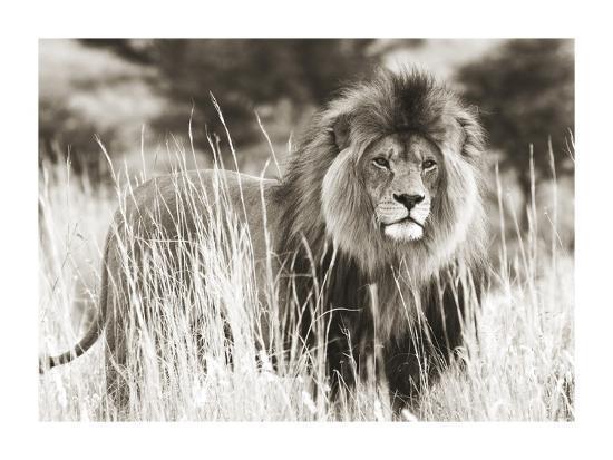 Male lion--Giclee Print