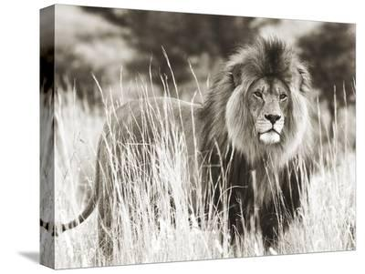 Male lion--Stretched Canvas Print