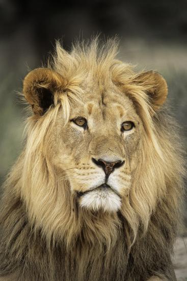 Male Lion-Peter Chadwick-Photographic Print