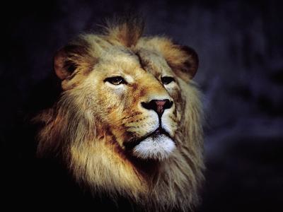 Male Lion--Photographic Print