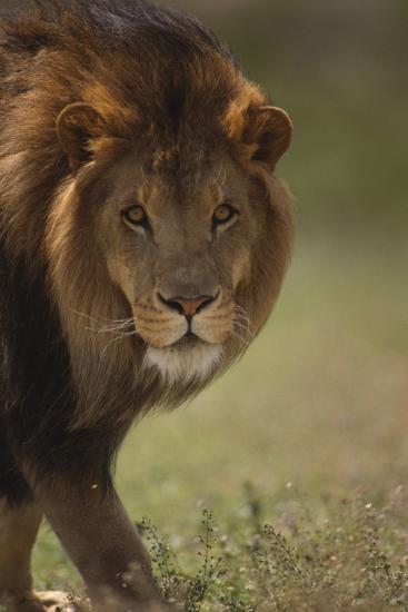 Male Lion-DLILLC-Photographic Print