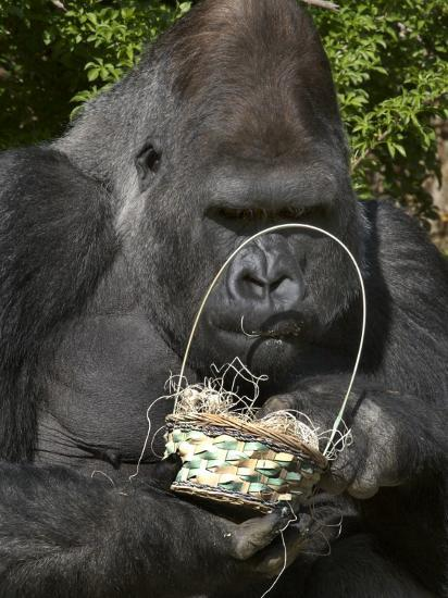 Male Lowland Gorilla with an Easter Basket Given to Him by His Keepers at the Cincinnati Zoo--Photographic Print