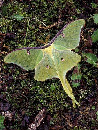 https://imgc.artprintimages.com/img/print/male-luna-moth_u-l-p4huje0.jpg?p=0