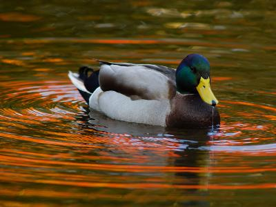 Male Mallard Duck Drinking. Fall Foliage Is Reflected in the Water-Darlyne A^ Murawski-Photographic Print