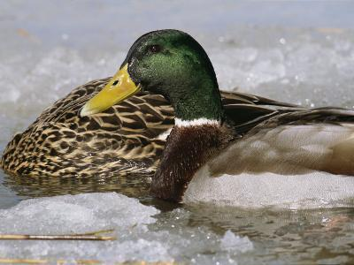 Male Mallard Duck in an Icy Waterway with Female Feeding Nearby-George Grall-Photographic Print