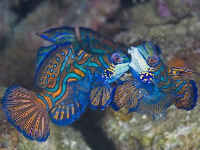 Male Mandarinfish (Synchiropus Splendidus) Fighting, One Trying to Drive the Other Away-Christopher Crowley-Photographic Print