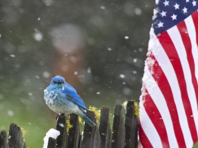 Male Mountain Bluebird (Sialia Currucoides) Waiting Out the 4th of July Snowstorm-Alexander Badyaev-Photographic Print