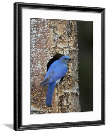 Male Mountain Bluebird (Sialia Currucoides)-James Hager-Framed Photographic Print
