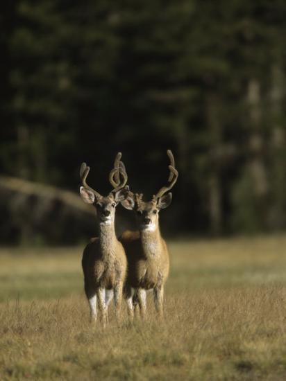 Male Mule Deer, in Velvet, Look Up from Grazing-Tim Laman-Photographic Print