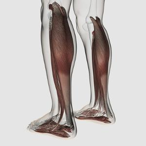 Male Muscle Anatomy of the Human Legs, Anterior View