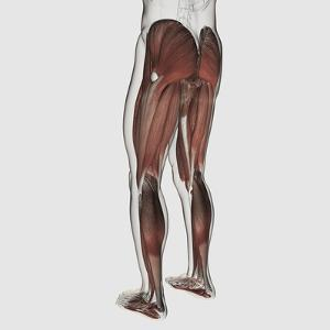 Male Muscle Anatomy of the Human Legs, Posterior View