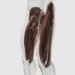 Male Muscle Anatomy of the Human Legs, Side View