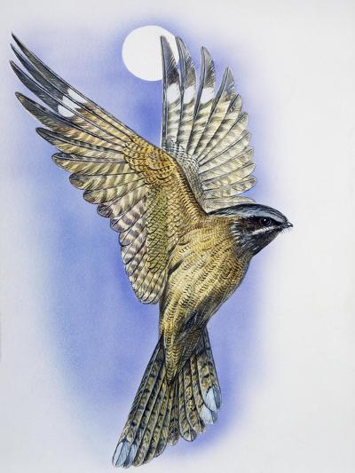 Male Nightjar During Courtship Display with Wings Held in V-Shape and Tail Fanned (Caprimulgus Euro--Giclee Print