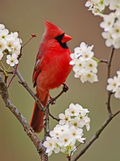 Male Northern Cardinal Among Blossoms of Pear Tree-Adam Jones-Photographic Print