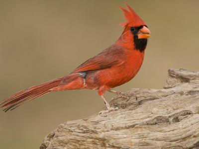Male Northern Cardinal, Cardinalis Cardinalis, North America-John Cornell-Photographic Print