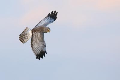 Male Northern Harrier Hawk-Ken Archer-Photographic Print