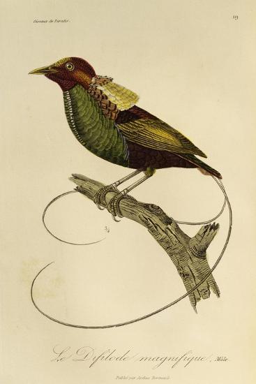 Male of Magnificent Bird-Of-Paradise (Cicinnurus Magnificus)--Giclee Print