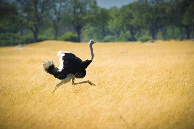 Male Ostrich Running in Dry Grass Trees in Background Botswana Africa-Sheila Haddad-Photographic Print