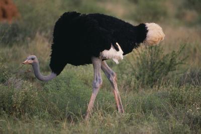 Male Ostrich-DLILLC-Photographic Print