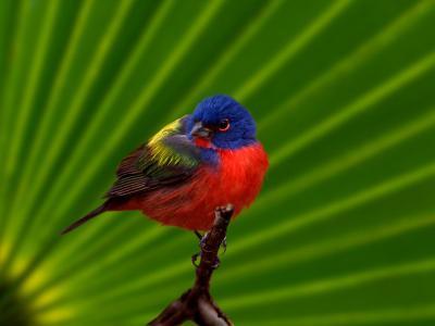 Male Painted Bunting, Everglades National Park, Florida, USA-Adam Jones-Photographic Print
