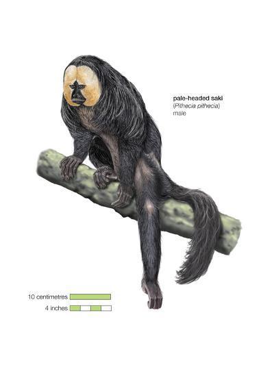 Male Pale-Headed Saki (Pithecia Pithecia), Monkey, Mammals-Encyclopaedia Britannica-Art Print