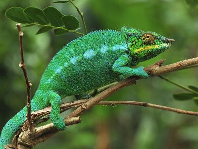Male Panther Chameleon (Furcifer Pardalis) Lokobe Nature Special Reserve, Northern Madagascar-Thomas Marent-Photographic Print