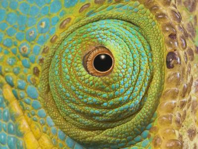 Male Parson's Chameleon, Close up of Eye, Ranomafana National Park, South Eastern Madagascar-Nick Garbutt-Photographic Print