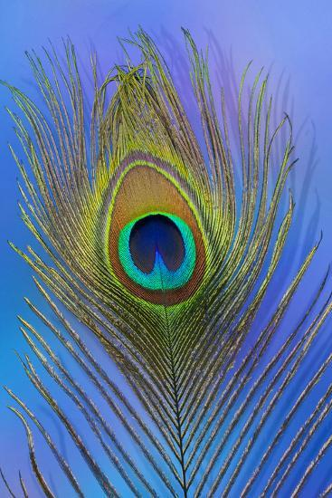Male Peacock Display Tail Feathers-Darrell Gulin-Photographic Print