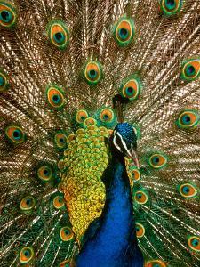 Male Peacock Indian Peofowl Pavo Cristatus Displaying Tail Feathers
