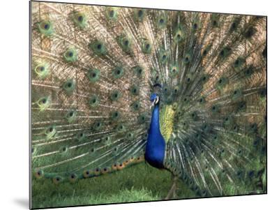 Male Peacock (Paro Cristatus)-Peggy Koyle-Mounted Photo