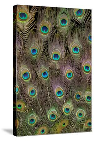 Male Peacock Tail Feathers-Darrell Gulin-Stretched Canvas Print