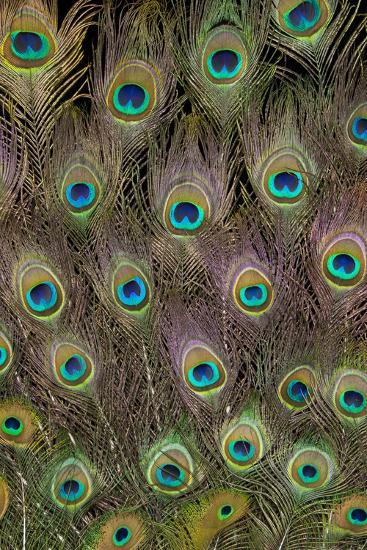 Male Peacock Tail Feathers-Darrell Gulin-Photographic Print