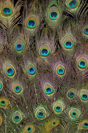 https://imgc.artprintimages.com/img/print/male-peacock-tail-feathers_u-l-q12t2q10.jpg?p=0