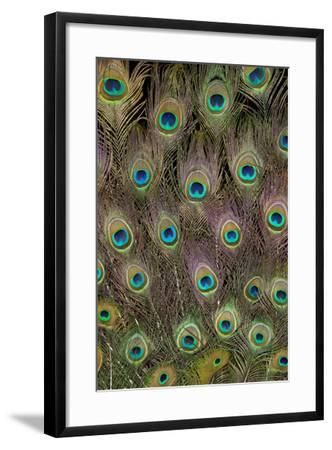 Male Peacock Tail Feathers-Darrell Gulin-Framed Photographic Print