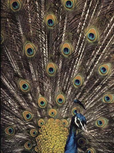 Male Peacock with Plummage Displayed-Medford Taylor-Photographic Print