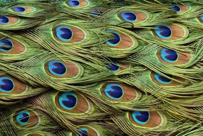 https://imgc.artprintimages.com/img/print/male-peafowl-feather-pattern-pavo-cristatus-florida-peacock_u-l-q1dix1p0.jpg?p=0