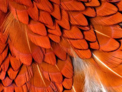 Male Pheasant Feathers, Devon, UK-Ross Hoddinott-Photographic Print