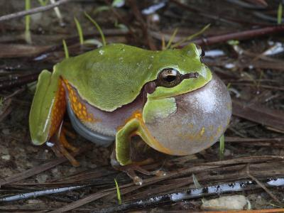 Male Pine Barrens Tree Frog, Hyla Andersoni, Calling for a Mate-George Grall-Photographic Print