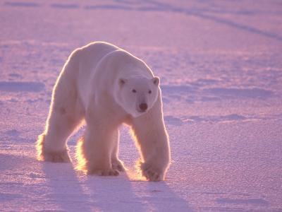 Male Polar Bear in the Morning Light-Jeff Foott-Photographic Print