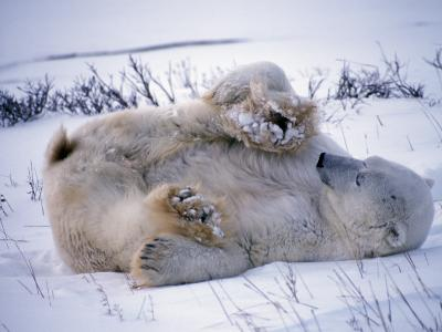 Male Polar Bear Rolling in Snow-Jeff Foott-Photographic Print