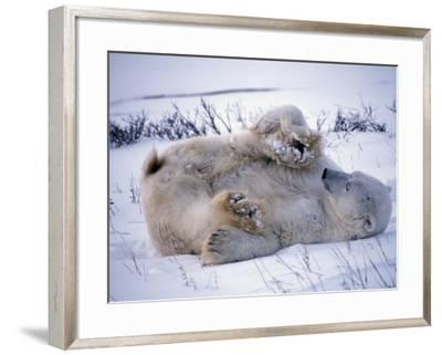 Male Polar Bear Rolling in Snow-Jeff Foott-Framed Photographic Print