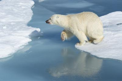 Male Polar Bear (Ursus Maritimus) Jumping over Ice Floes and Blue Water-G&M Therin-Weise-Photographic Print