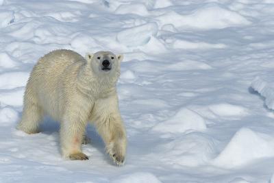 Male Polar Bear (Ursus Maritimus) Walking over Pack Ice, Spitsbergen Island, Svalbard Archipelago-G&M Therin-Weise-Photographic Print