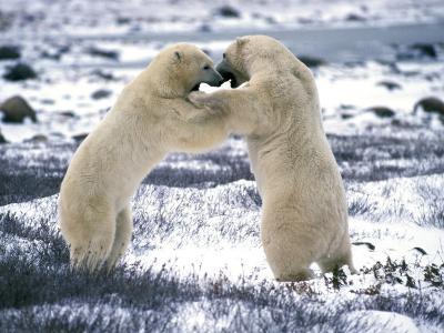 Male Polar Bears Play-Fighting-Jeff Foott-Photographic Print