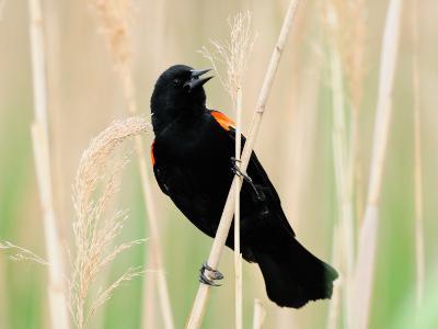 Male Red-Winged Blackbird Calling-Darlyne A^ Murawski-Photographic Print