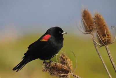 Male Red-Winged Blackbird, Ridgefield NWR, Ridgefield, Washington, USA-Michel Hersen-Photographic Print