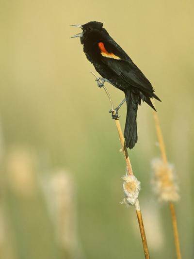 Male Red-Winged Blackbird Singing, Agelaius Phoeniceus, North America-John & Barbara Gerlach-Photographic Print