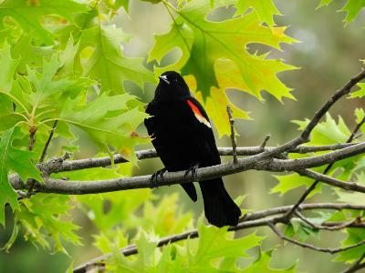 Male Red-Winged Blackbird Sitting in an Oak Tree-Darlyne A^ Murawski-Photographic Print